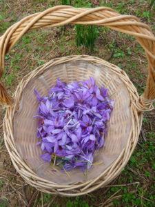 Récolte de fleurs de safran